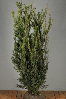 Taxus media 'Hilli' Kluit 150-175 cm Kluit