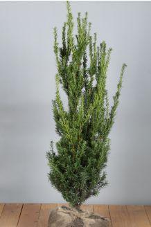 Taxus media 'Hilli' Kluit 60-80 cm Kluit