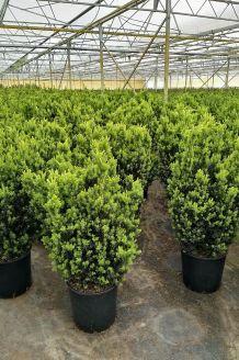 Taxus media 'Hilli' Pot 80-100 cm Pot