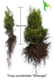 Levensboom 'Smaragd' Blote wortel 30-40 cm Blote wortel