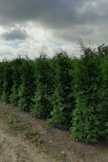Levensboom 'Brabant' Kluit 225-250 cm Extra kwaliteit Kluit