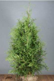 Levensboom 'Brabant' Kluit 150-175 cm Extra kwaliteit Kluit
