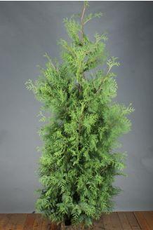 Levensboom 'Brabant' Kluit 200-225 cm Extra kwaliteit Kluit
