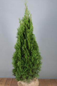 Levensboom 'Smaragd' Kluit 100-125 cm Extra kwaliteit Kluit