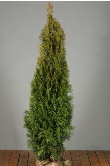 Levensboom 'Smaragd' Kluit 125-150 cm Extra kwaliteit Kluit