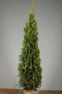 Levensboom 'Smaragd' Kluit 175-200 cm Extra kwaliteit Kluit