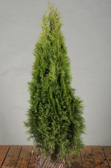 Levensboom 'Smaragd' Kluit 60-80 cm Kluit