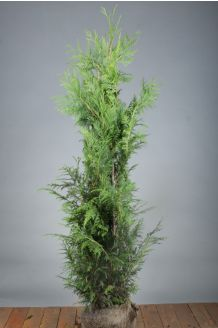 Levensboom 'Martin' Kluit 125-150 cm Kluit