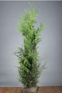 Levensboom 'Excelsa' Kluit 125-150 cm Kluit
