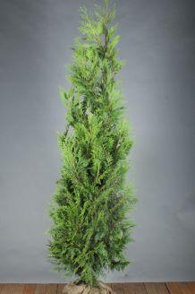 Levensboom 'Martin' Kluit 200-225 cm Kluit