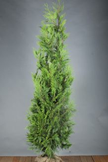 Levensboom 'Excelsa' Kluit 200-225 cm Kluit