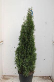 Levensboom 'Smaragd' Pot 150-175 cm Pot