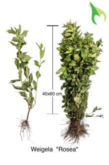 Weigela 'Rosea' Blote wortel 40-60 cm Blote wortel