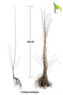 Meidoorn Blote wortel (100-125 cm) Blote wortel