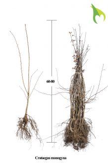 Meidoorn Blote wortel 60-80 cm Blote wortel