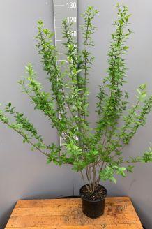 Wintergroene Liguster Atrovirens Pot 100-125 cm Pot