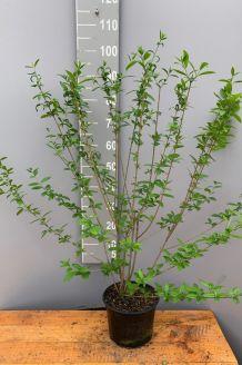 Wintergroene Liguster Atrovirens Pot 80-100 cm Pot