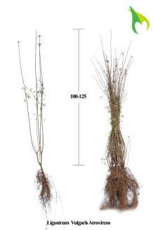 Wintergroene Liguster Atrovirens Blote wortel 100-125 cm Blote wortel