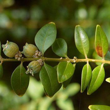 Buxus (palmboom)