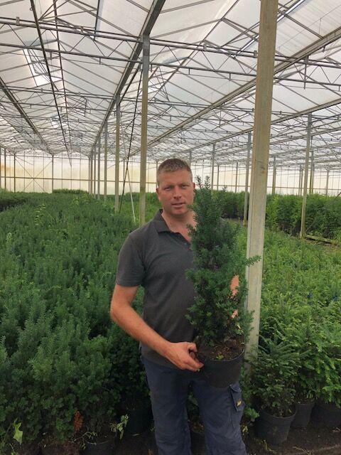Taxus media 'Hilli' (60-80 cm) Pot