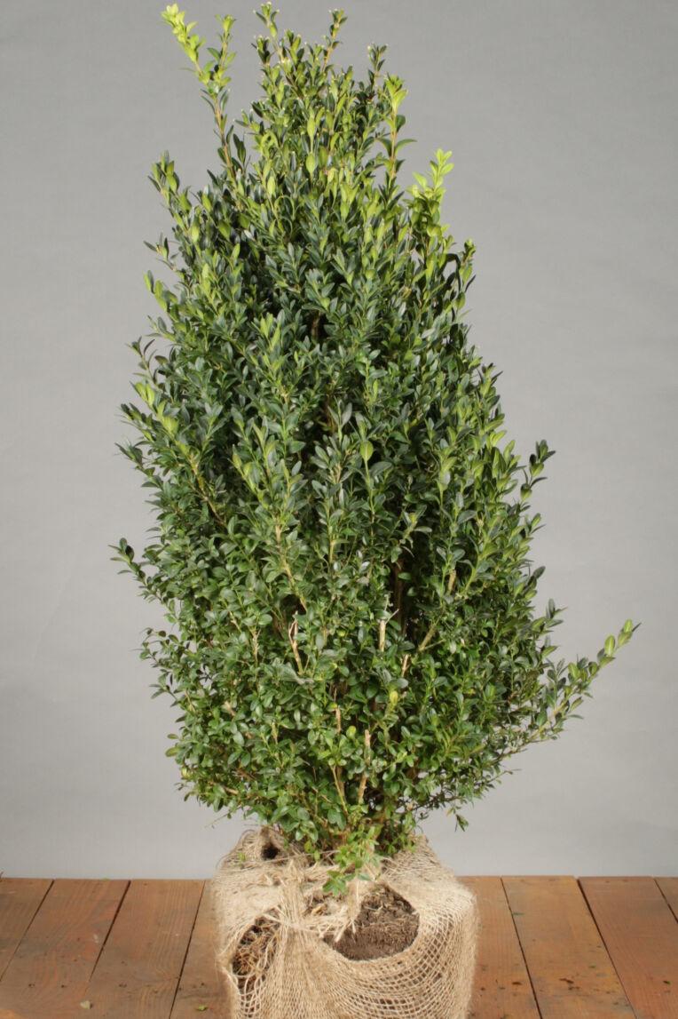 Buxus (palmboom) (60-80 cm) Kluit
