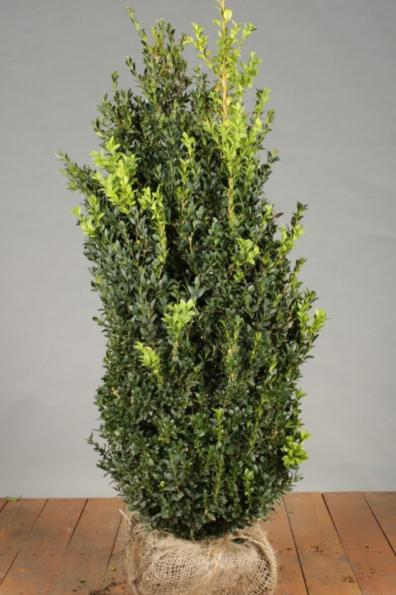 Buxus (palmboom) (80-100 cm) Kluit