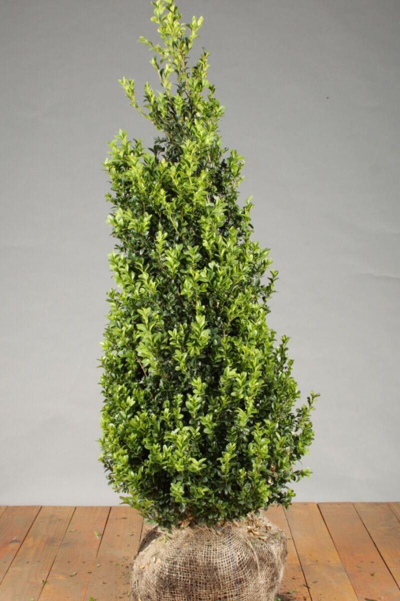 Buxus (palmboom) (100-125 cm) Kluit