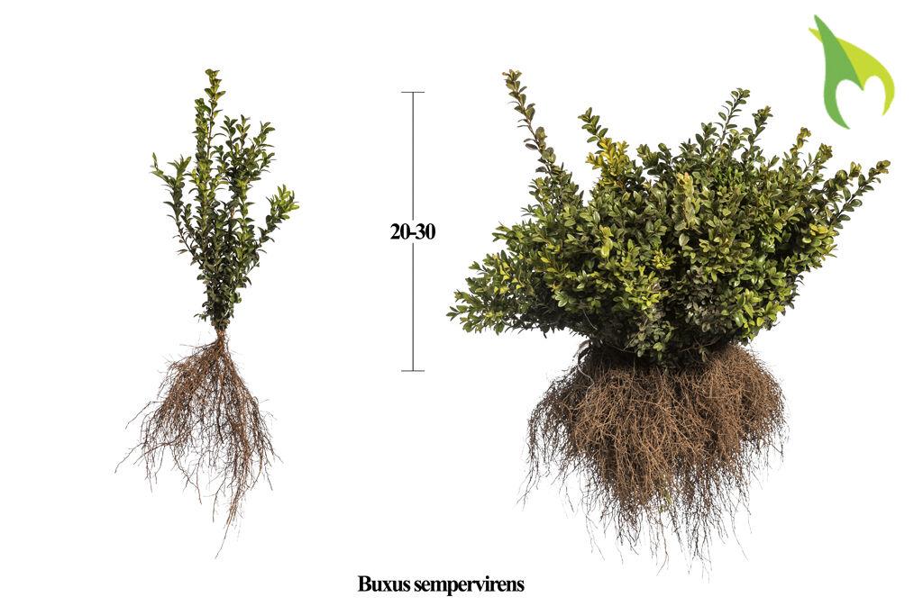 Buxus (palmboom) (20-30 cm) Blote wortel