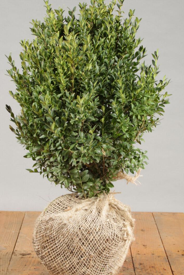 Buxus (palmboom) (30-40 cm) Kluit