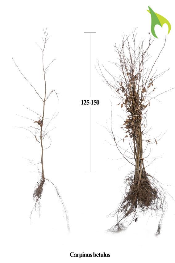 Haagbeuk (125-150 cm) Extra kwaliteit Blote wortel