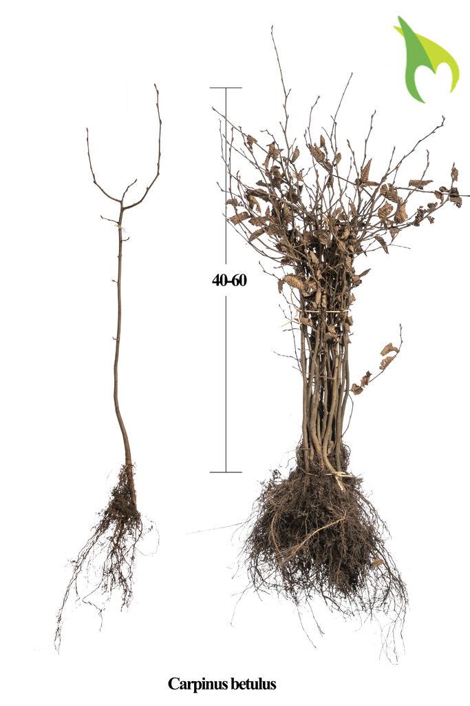 Haagbeuk (40-60 cm) Blote wortel