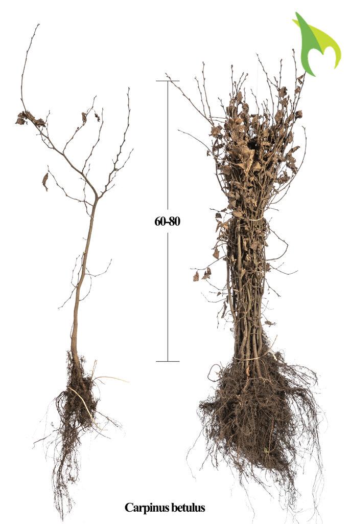 Haagbeuk (60-80 cm) Blote wortel