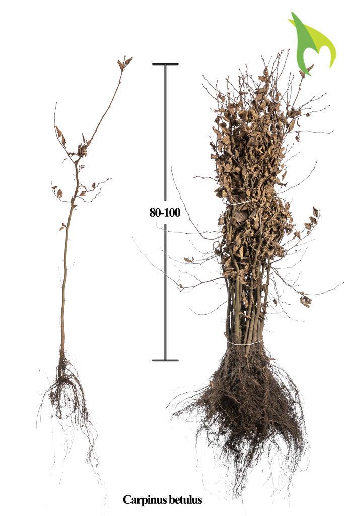Haagbeuk (80-100 cm) Blote wortel