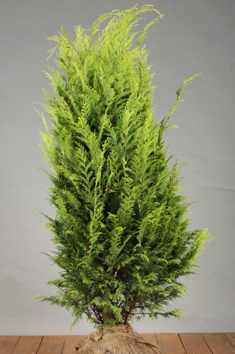 Gele Californische Cipres (100-125 cm) Extra kwaliteit Kluit