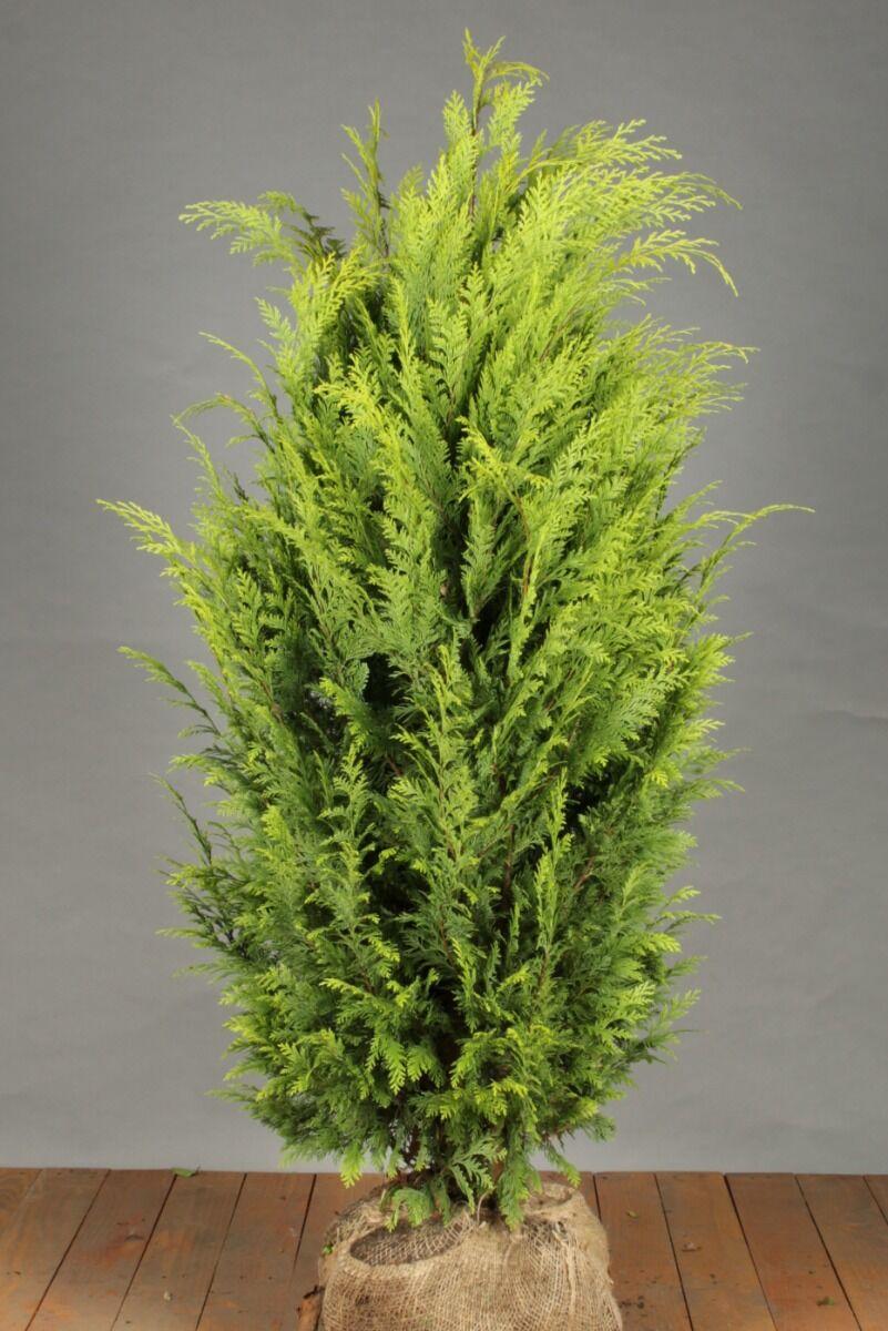 Gele Californische Cipres (125-150 cm) Extra kwaliteit Kluit