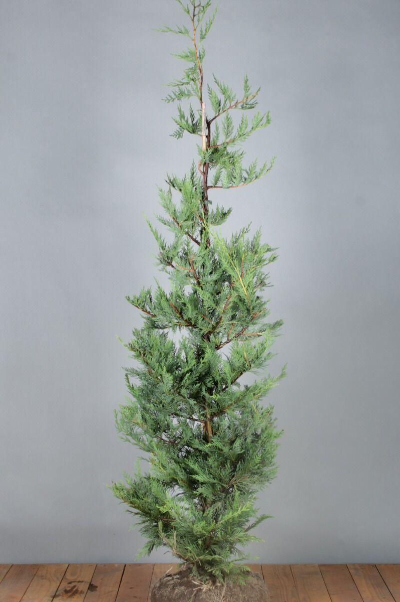 Leylandii coniferen (150-175 cm) Kluit