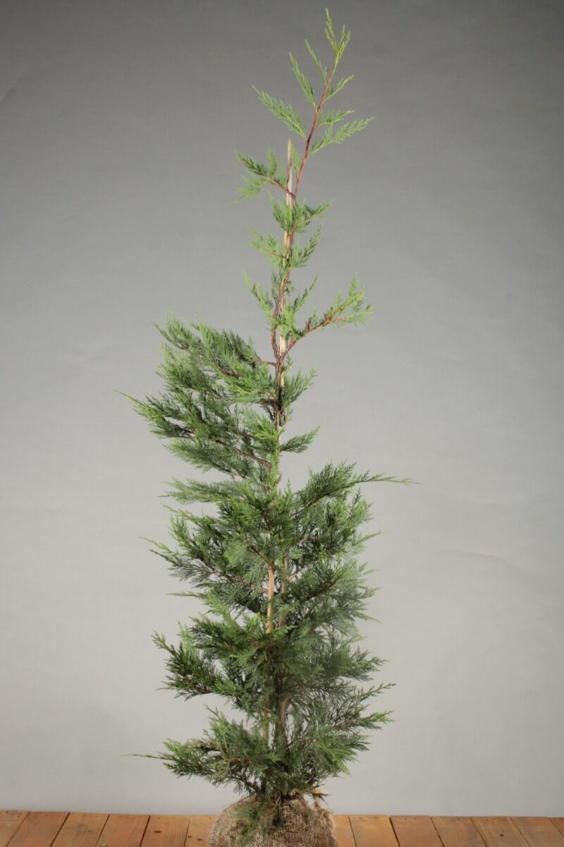 Leylandii coniferen (125-150 cm) Kluit