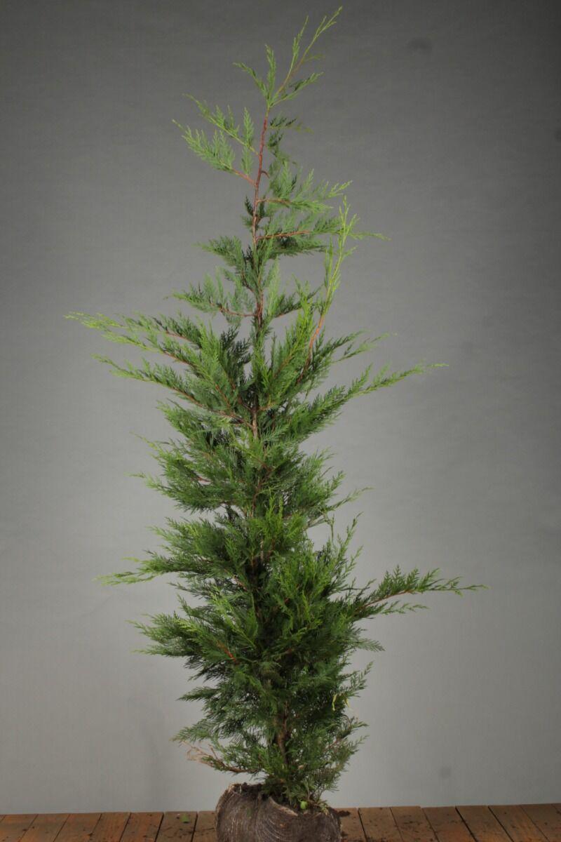 Leylandii coniferen (175-200 cm) Kluit