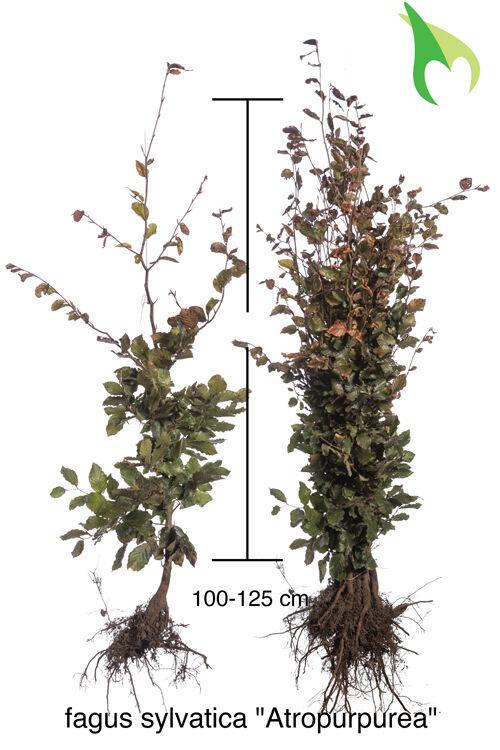 Rode Beuk (100-125 cm) Blote wortel