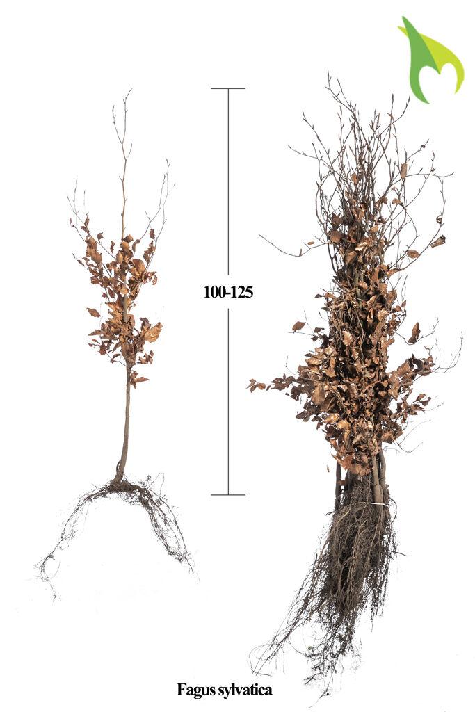 Groene beuk (100-125 cm) Extra kwaliteit Blote wortel