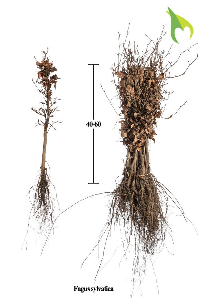 Groene beuk (40-60 cm) Blote wortel