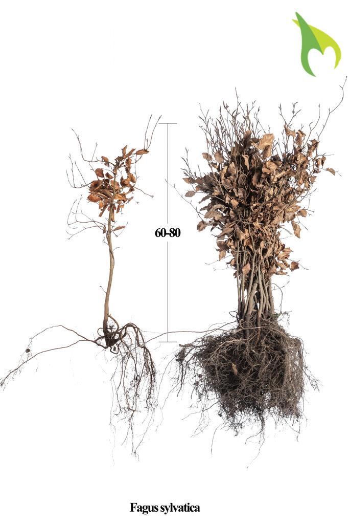 Groene beuk (60-80 cm) Blote wortel