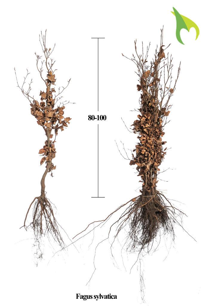 Groene beuk (80-100 cm) Extra kwaliteit Blote wortel