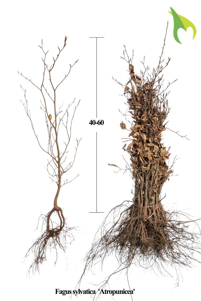 Rode Beuk (40-60 cm) Blote wortel