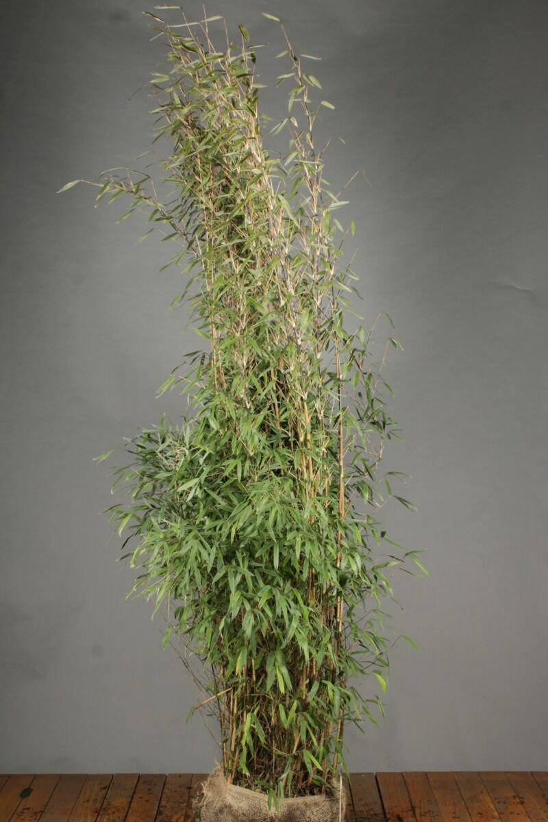 Bamboe (200-225 cm) Kluit