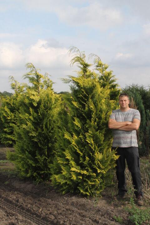 Gele Californische Cipres (200-225 cm) EXTRA Kluit