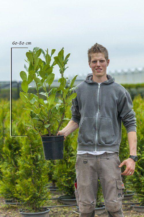 Laurier 'Rotundifolia' (60-80 cm) Pot