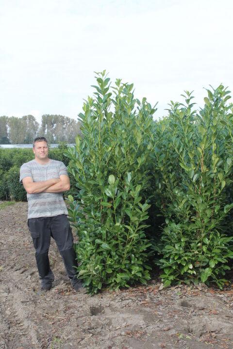 Laurier 'Rotundifolia' (200-225 cm) Kluit