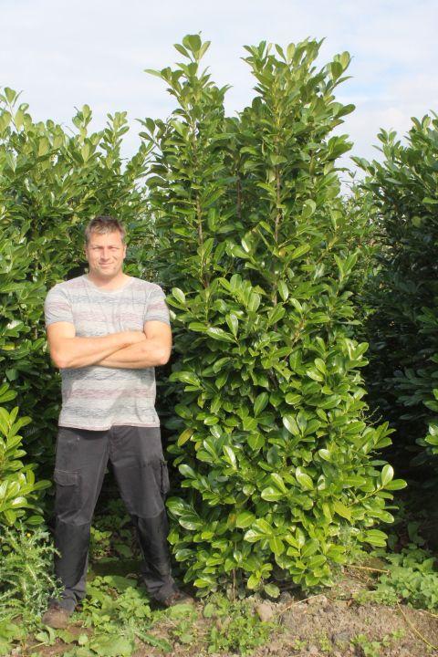 Laurier 'Rotundifolia' (225-250 cm) Extra kwaliteit Kluit