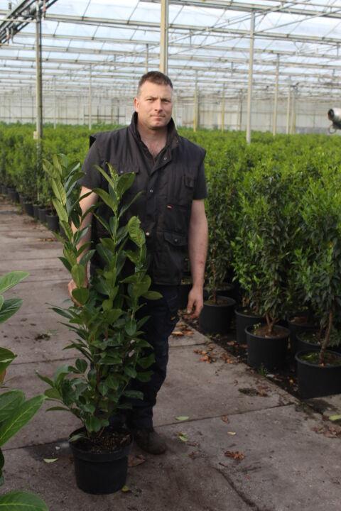 Laurier 'Novita' (80-100 cm) Pot